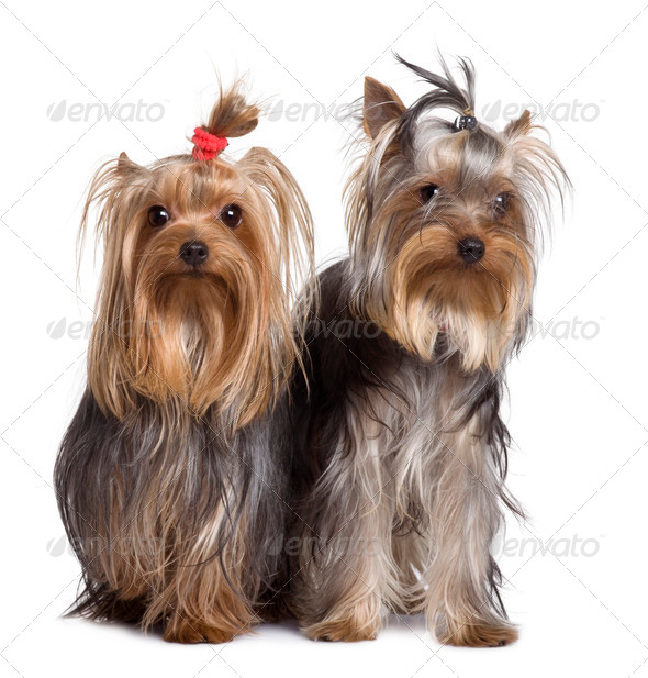 Yorkshire terriers, 9 months old, standing in front of white background - Stock Photo - Images