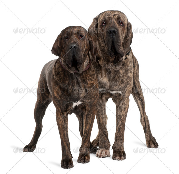 Fila braziliero or Brazilian Mastiffs, 18 months old, standing in front of white background - Stock Photo - Images