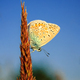 Polyommatus bellargus, Adonis Blue. Beautiful butterfly sitting on stem. - PhotoDune Item for Sale