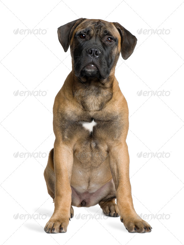 Bullmastiff puppy, 5 months old, sitting in front of white background - Stock Photo - Images