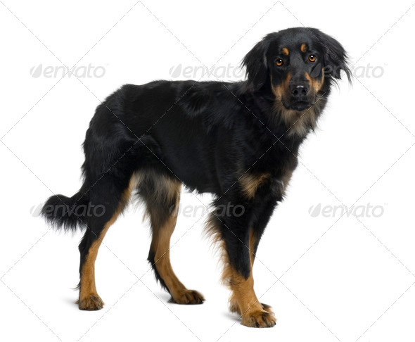 Hovawart dog, 15 months old, standing in front of white background - Stock Photo - Images