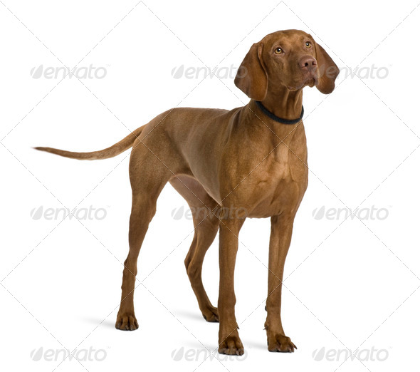 Viszla dog, 2 years old, standing in front of white background - Stock Photo - Images