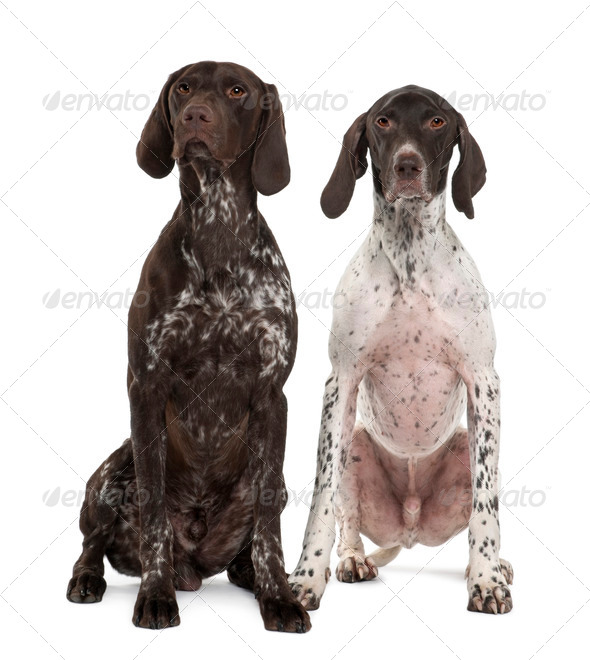 Two German Shorthaired Pointers, 3 years old, sitting in front of white background - Stock Photo - Images