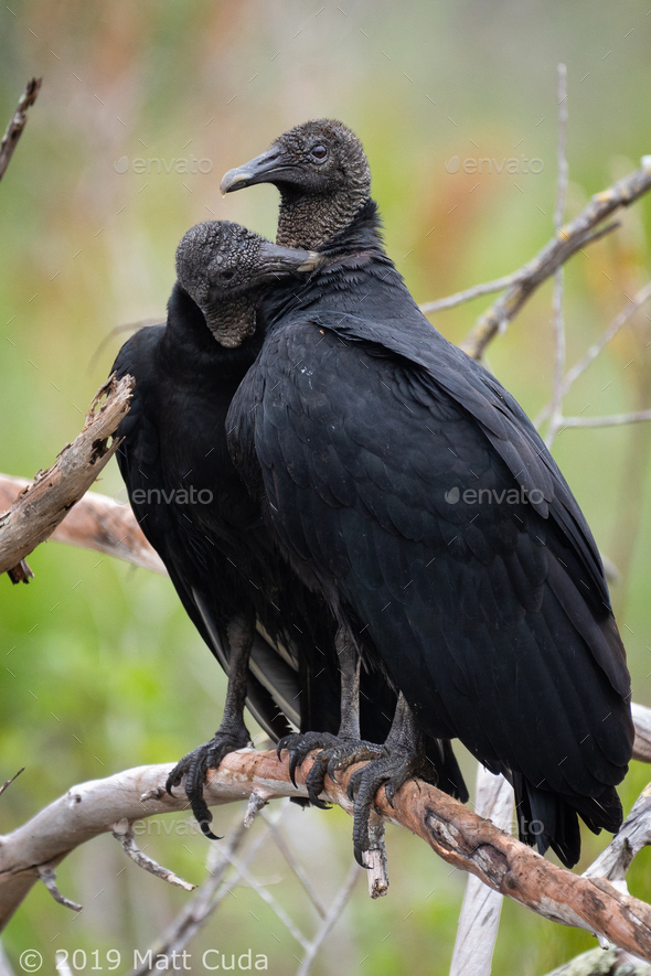 Black Vultures Preening - Stock Photo - Images