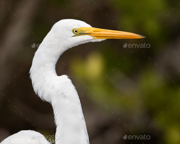 Great Egret - Stock Photo - Images