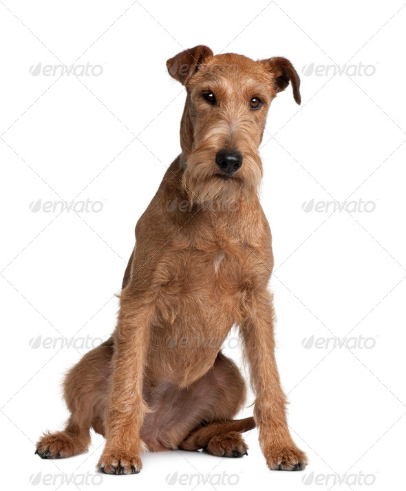 Irish Terrier, 2 years old, sitting in front of white background - Stock Photo - Images