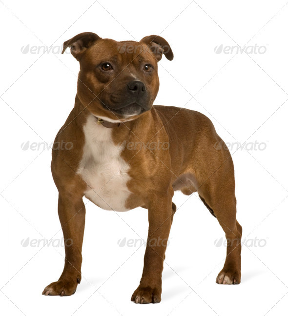 Staffordshire Bull Terrier, 19 months old, standing in front of white background - Stock Photo - Images