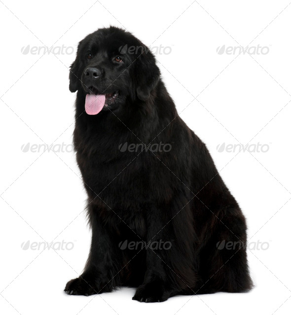 Newfoundland dog sitting in front of white background - Stock Photo - Images