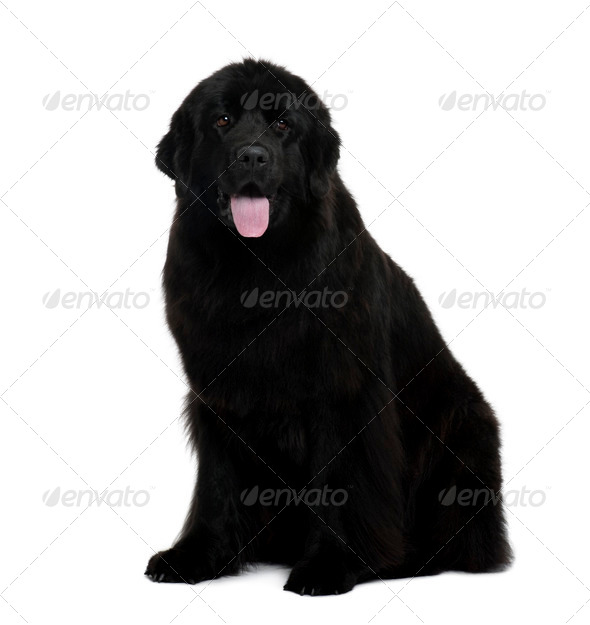 Newfoundland dog, 2 years old, sitting in front of white background - Stock Photo - Images