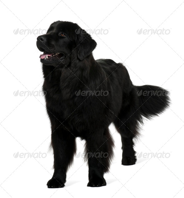 Newfoundland dog, 1 year old, standing in front of white background - Stock Photo - Images