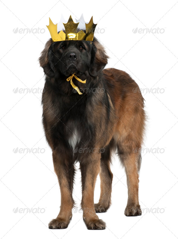 Leonberger dog wearing crown, 18 months old, standing in front of white background - Stock Photo - Images