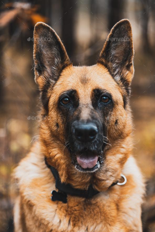 German Shepherd Dog Portrait in Autumnal Park. Bokeh Blurred Background - Stock Photo - Images