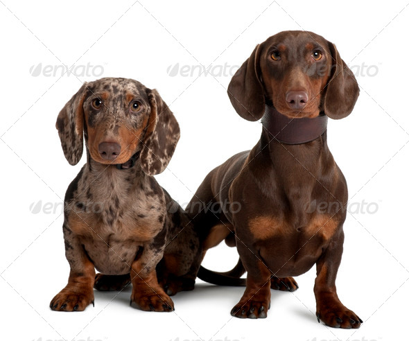 Couple of Dachshunds, 18 and 5  months old, sitting in front of white background - Stock Photo - Images