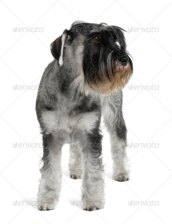 Schnauzer, 2 years old, standing in front of white background - Stock Photo - Images