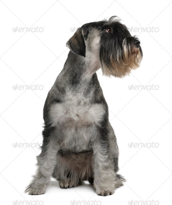 Schnauzer, 2 years old, sitting in front of white background - Stock Photo - Images