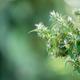 marijuana (Cannabis sativa) flowering ready to harvest - PhotoDune Item for Sale