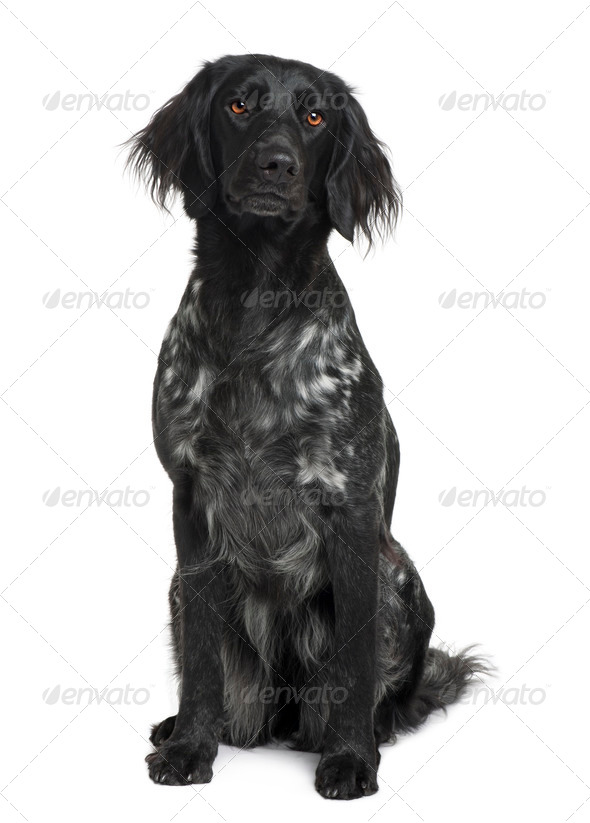 Munsterlander dog sitting in front of white background, studio shot - Stock Photo - Images