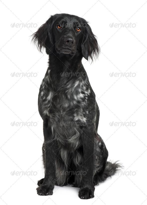 Munsterlander dog sitting in front of white background, studio shot - Stock Photo - Images