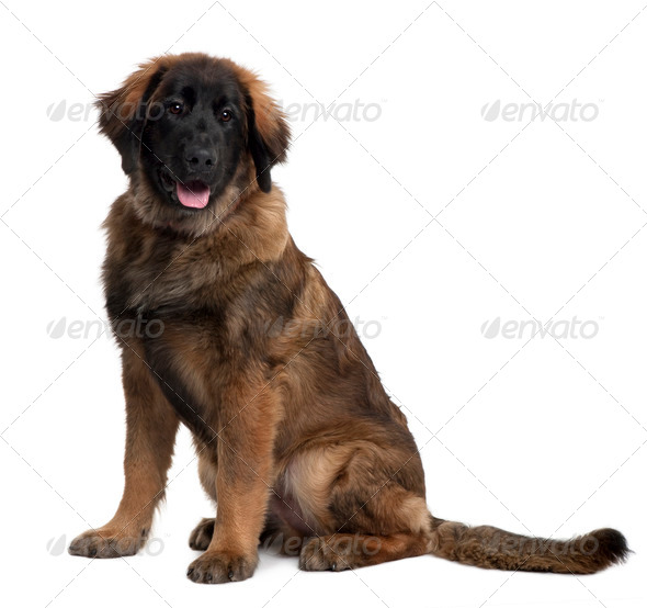 Leonberger puppy, 6 months old, sitting in front of white background - Stock Photo - Images