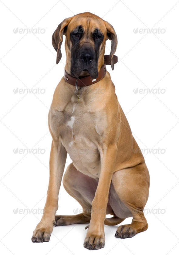 Great Dane, 1 year old, sitting in front of white background - Stock Photo - Images