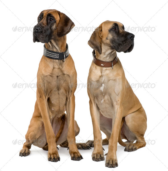Two Great Danes, 1 year old, sitting in front of white background - Stock Photo - Images