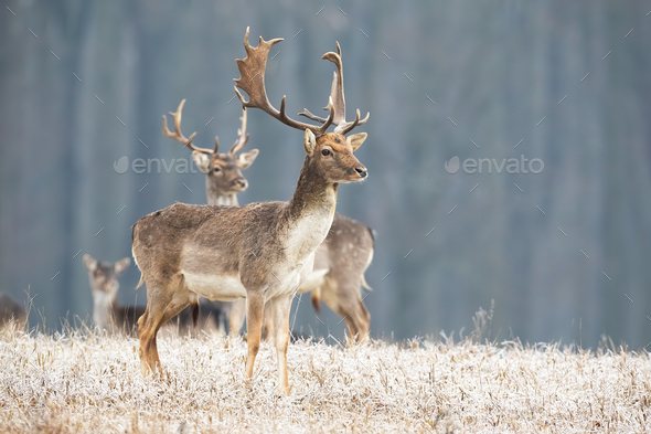 Fallow deer stag standing on a meadow in freezing cold looking aside - Stock Photo - Images