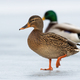 Two wild ducks approaching together on ice in wintertime - PhotoDune Item for Sale
