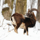 Male mouflon, ovis musimon, standing in winter forest with snow - PhotoDune Item for Sale