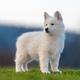 Puppy cute White Swiss Shepherd dog portrait on meadow - PhotoDune Item for Sale