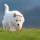 Puppy cute White Swiss Shepherd dog portrait on meadow - PhotoDune Item for Sale