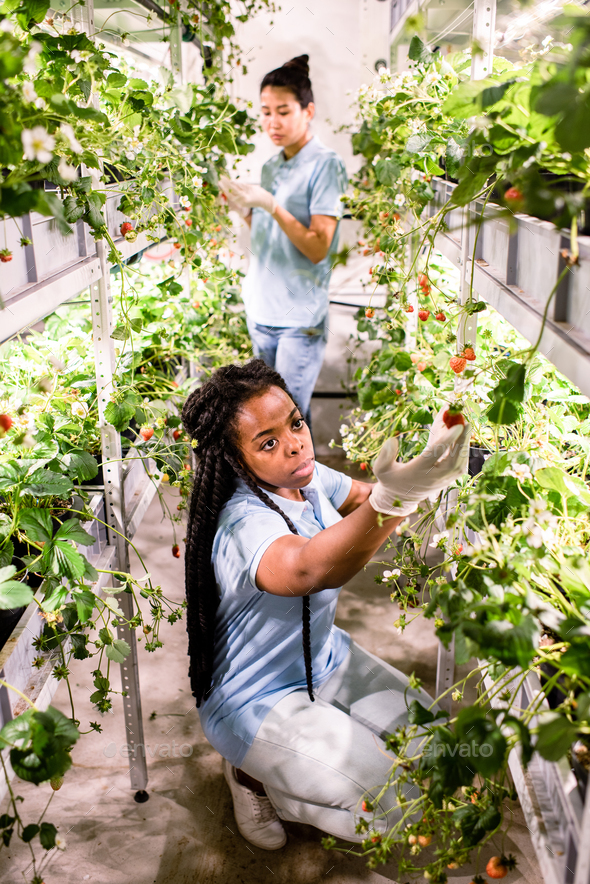 African female in gloves and casualwear looking at one of ripe strawberries - Stock Photo - Images