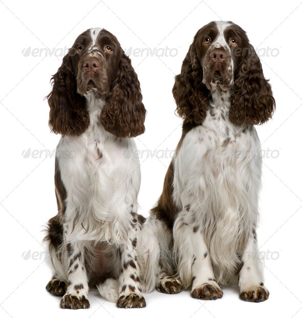 Two English Springer spaniels, 1 and 2 years old, sitting in front of white background - Stock Photo - Images
