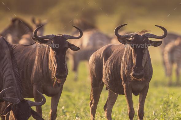 Blue Wildebeest herd grazing at Mooiplas - Stock Photo - Images