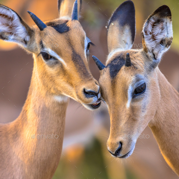 Young Impalas grooming sweetly insta