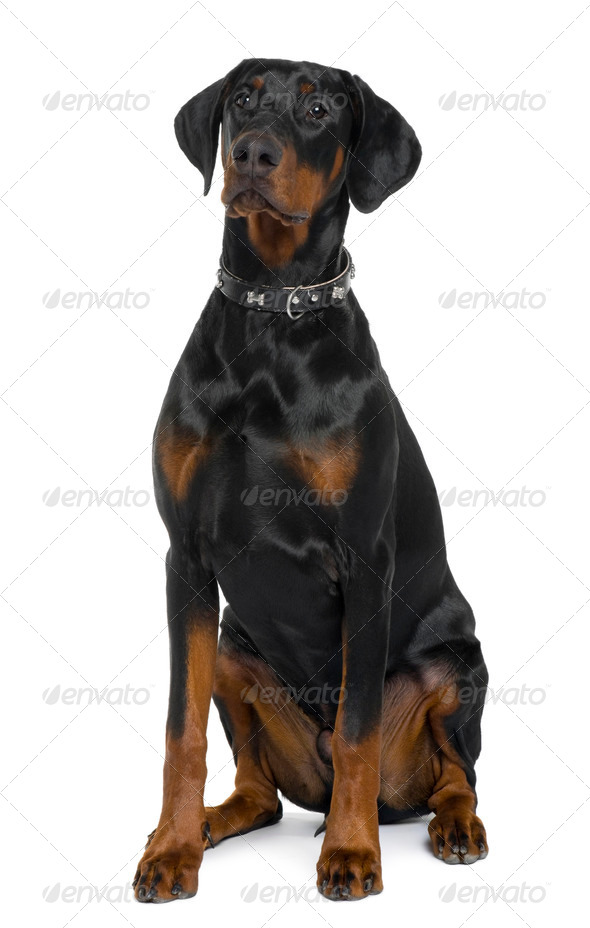 Doberman, 5 months old, sitting in front of white background - Stock Photo - Images