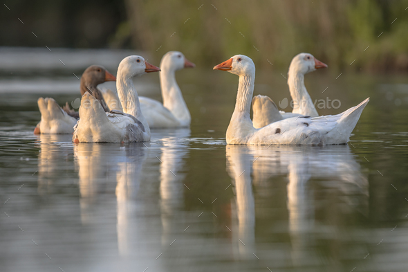 Group of alert white geese - Stock Photo - Images
