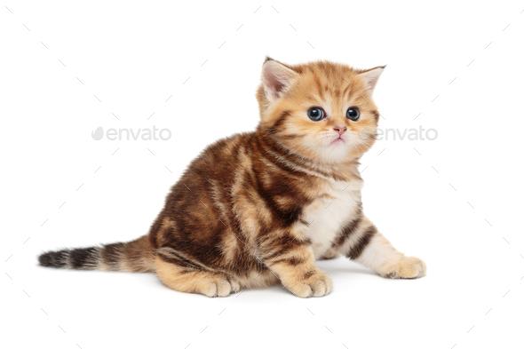 Red, little British kitten - Stock Photo - Images
