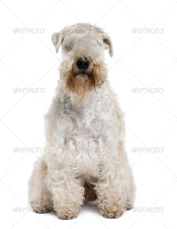 Soft-Coated Wheaten Terrier, 3 years old, sitting in front of white background - Stock Photo - Images