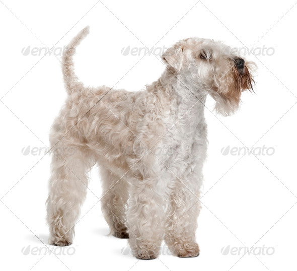 Soft-Coated Wheaten Terrier, 3 years old, standing in front of white background - Stock Photo - Images