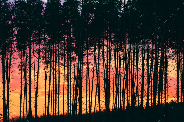 Sunset Sunrise In Pine Forest. - Stock Photo - Images