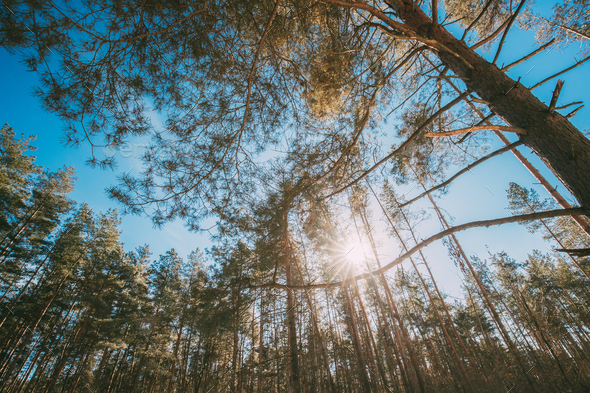 Looking Up In Beautiful Pine Coniferous Forest Trees Woods Canopy - Stock Photo - Images