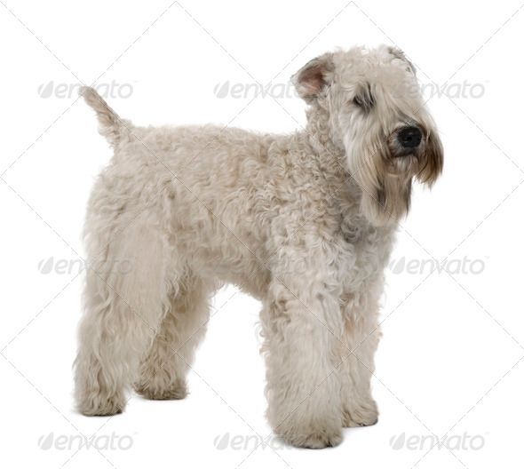 Soft-coated Wheaten Terrier, 1 year old, standing in front of white background - Stock Photo - Images