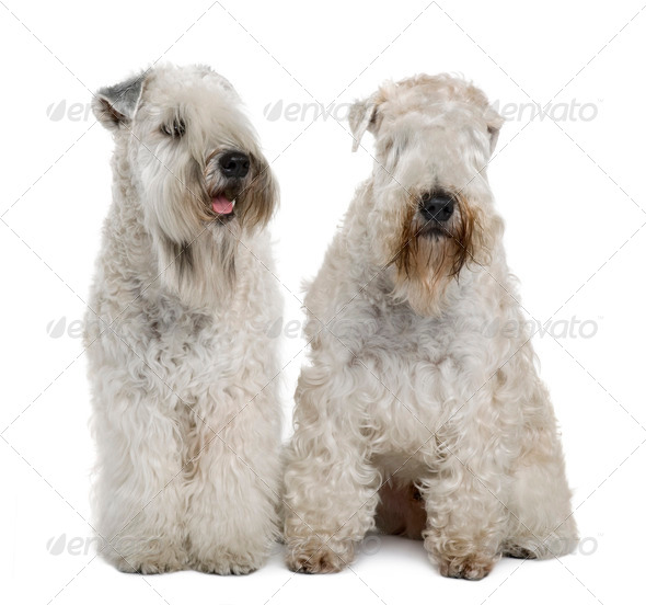 Two Soft-coated Wheaten Terriers, 1 year old, sitting in front of white background - Stock Photo - Images