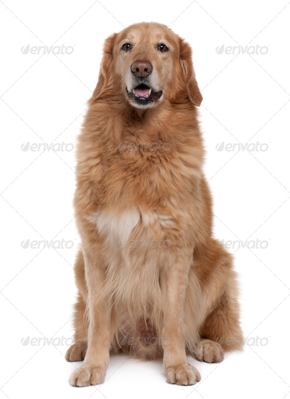 Hovawart dog, 7 years old, sitting in front of white background - Stock Photo - Images