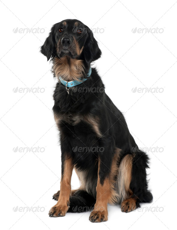 Hovawart dog, 2 years old, sitting in front of white background - Stock Photo - Images