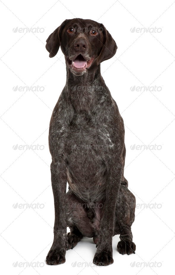 German Shorthaired Pointer, 5 years old, sitting in front of white background - Stock Photo - Images