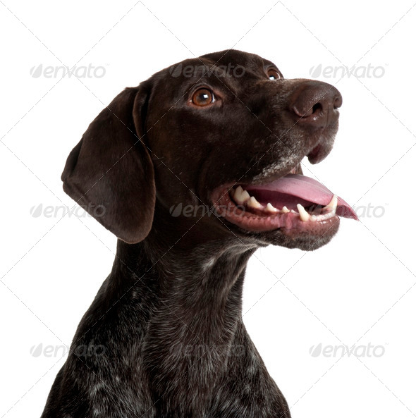German Shorthaired Pointer, 5 years old, panting in front of white background - Stock Photo - Images