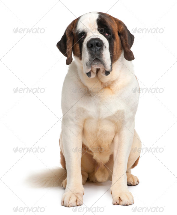 Saint Bernard, 4 years old, sitting in front of white background - Stock Photo - Images