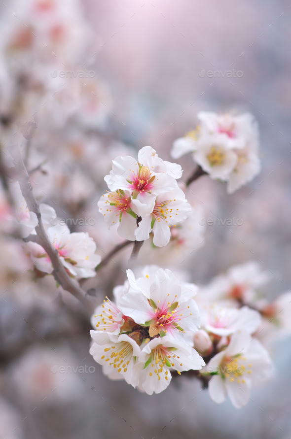 Spring almond flower - Stock Photo - Images