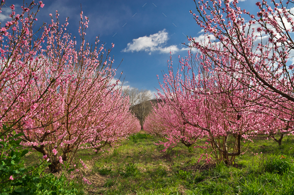 Orchard blooming spring garden. - Stock Photo - Images